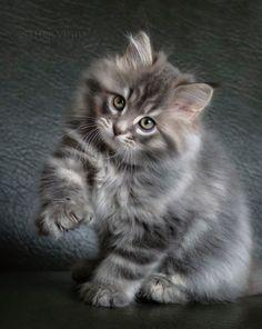 "[Maine Coon Kitten --------------------- ** GRAY TAB: "" Hustlers of de world; der be one mark yoo can'ts hide. De mark be inside. Cute Baby Cats, Cute Little Animals, Cute Cats And Kittens, Kittens Cutest, Funny Kittens, Pretty Cats, Beautiful Cats, Animals Beautiful, Maine Coon Kittens"