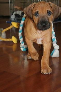 Puppy Amazing Dogs, Beautiful Dogs, Simply Beautiful, Doggies, Dogs And Puppies, Rhodesian Ridgeback Puppies, Adorable Dogs, Puppys, Boxers
