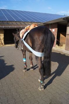 """Als ich vor knapp vier Monaten angefangen habe meine Pferde mit dem Körperband vertraut zu machen, schauten mich meine """"Reitgspändli"""" noch mit grossen Augen an. Mittlerweile sind sie es jedoch auch schon gewohnt, dass meine Pferde..."""