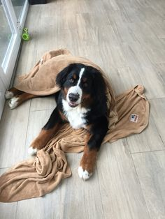 After a wet walk, i must dry... - 31 weeks