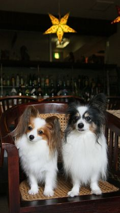 papillon beauties in a chair