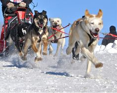 Animal Legal Defense Fund:Cruelty to Alaska's Sled Dogs in the Iditarod - Speak Out Against Cruelty to Dogs! aldf.org