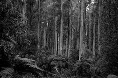Karri trees Australia www.riittasourander.com