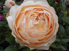 Post pics of your Austins. Here are a few from my garden Sweet Juliet: And she…