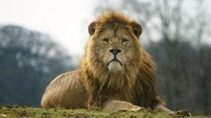 Lions of the Serengeti | Zoological Society of London (ZSL)