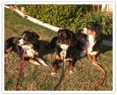 Tips for #training multiple #dogs