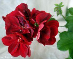 Плющелистная пеларгония Atlantic Red Velvet