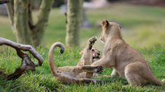 Lion cub play time