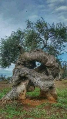 Science Discover I don& know if this olive tree is ancient but it is old and cool. Weird Trees Twisted Tree Unique Trees Old Trees Tree Trunks Nature Tree Tree Forest Olive Tree Tree Art Weird Trees, Twisted Tree, Old Trees, Unique Trees, Nature Tree, Tree Forest, Belleza Natural, Tree Art, Natural Wonders