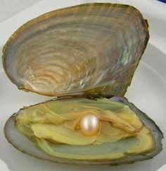 Christopher Columbus and Vasco de Balboa discovered pearls in Venezuela and Panama during their travels. Crystals And Gemstones, Sea Creatures, Under The Sea, Oysters, Sea Shells, Marine Life, Water, Beautiful, Minerals