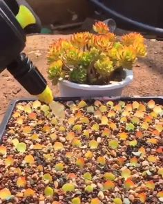 Succulent Care Discover Propagation Season is Upon us! Propagation is nothing to be intimidated by! We have the tips and tricks to help you succeed! Propagating Succulents, Growing Succulents, Cacti And Succulents, Planting Succulents, Cactus Plants, Garden Plants, Planting Flowers, Indoor Cactus, Garden Pond