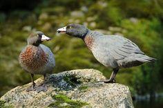 Blue Duck pair Aquatic Birds, Ducks, Swans, Blue, Cardinals