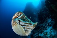 The Palau nautilus (Nautilus belauensis) occurs nowhere else on Earth, but this individual was seen . - Photograph by Enric Sala, Nat Geo Image Collection Underwater Pictures, Underwater Sea, Living Fossil, Pokemon, Marine Environment, Rare Species, Marine Conservation, Oceans Of The World, Island Nations
