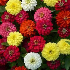 Check out the deal on Zinnia Zahara Double Mix (Formula) 20 seeds at Hazzard's Home Gardener Cut Flowers, Colorful Flowers, Beautiful Flowers, Cool Plants, Live Plants, Planting Seeds, Planting Flowers, Flower Seeds Online, Mixed Border