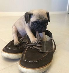 Tiny little puggy puppy!