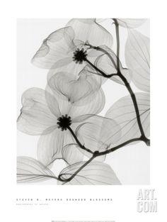 Dogwood Blossoms Pri