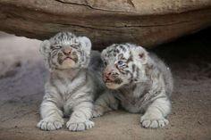 Newborn white Siberian tiger cubs are presented to the media at San Jorge zoo in Ciudad Juarez - Jose Luis Gonzalez/Reuters