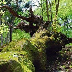 森の中では、天寿を全うした倒木が、朽ち果てて苔に覆われて大地にかえってゆく姿を見かけます。そのすぐ傍らで、若木が新芽を出している様子は、太古からの生命の営みの縮図のようです。