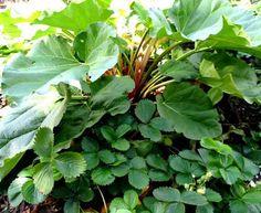 edible perennials   Strawberries and rhubarb   Edible Perennials