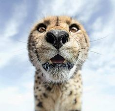 Up close cheetah