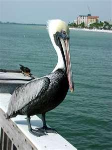 Pelican, the bird belonging to mr. Wiloboughy