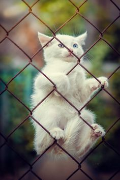 """""""Guys, I've made a huge mistake!"""" // adorable kitten climbs fence and can't get doqwn White Kittens, Cute Cats And Kittens, Baby Cats, Kittens Cutest, Baby Animals, Cute Animals, Interesting Animals, Kitten Love, Animal Pictures"""