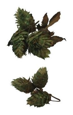 Hops vines (Humulus lupulus) quickly grow 15 feet or taller each year, providing a wall of attractive foliage that's later covered in the papery cones used to flavor beer. Grow hops for your own . Hop Rhizomes, Hops Vine, Hops Plant, Grapevine Growing, Barrel Planter, Climbing Vines, Growing Grapes, Herbaceous Perennials