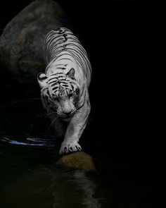 White Tiger finding his way through the river    Photography by fess67