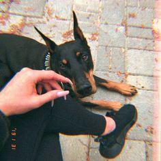 Cute Dogs Breeds, Cute Dogs And Puppies, I Love Dogs, Dog Breeds, Perro Doberman Pinscher, Doberman Dogs, Dobermans, Cute Funny Animals, Cute Baby Animals