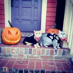 Hope y'all had a good 'un!  #exoticshorthair #cat #cute #flatface #kitten #meow #pet #mreggs #catlover #exoticsofinstagram #smushface #weeklyfluff #sirpumpkin