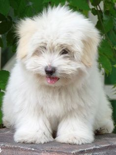 Cutest Small Dog Breeds, Pet Dogs, Dogs And Puppies, Coton De Tulear Puppy, Havanese Puppies, Bulldog Puppies, Super Cute Animals, Puppy Breeds, Cute Animal Pictures