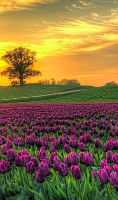 Field of tulips at Vesterborg, Denmark (by Kim Schou)