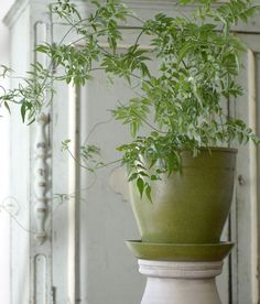 HOUSEPLANTS :: Jasmine as houseplant. Aromatherapy to help with sleep. Click for more info. | #houseplant #jasmine