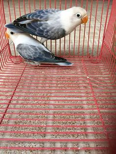 Love Birds Pet, I Like Birds, Cute Birds, Pretty Birds, Beautiful Birds, Animals Beautiful, Colorful Parrots, Colorful Birds, Budgies