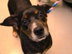 RUBY PULLED BY ABANDONED ANGELS COCKER SPANIEL RESCUE - 08/31/15 - TO BE DESTROYED - 08/30/15 - RUBY - #A1049287 - Urgent Brooklyn - FEMALE TRICOLOR BEAGLE MIX, 5 Yrs - OWNER SUR - EVALUATE, NO HOLD Reason PERS PROB - Intake Date 08/26/15 Due Out 08/26/15