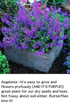 Adding to my flower garden this year! Angelonia -It's easy to grow and flowers profusely, great plant for our dry spells and heat. Not fussy about soil either. Butterflies love it! Backyard and Garden,flowers*plants, Container Gardening, Gardening Tips, Container Plants, Container Flowers, Organic Gardening, Succulent Containers, Fine Gardening, Gardening Gloves, Vegetable Gardening