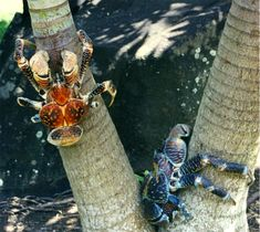 The Coconut Crab, Birgus latro, aka the Robber Crab, and Palm Thief. This Land Crab can grow to over 3 ft wide & weigh in at 9lb —It is the largest land-living arthropod in the world! Endemic to Indian Ocean Islands such as the Seychelles & Christmas Island, & the Pacific such as Bora Bora, & Japan's Nansei/Ryukyu Islands. Distribution mirrors that of the Coconut Palm, a primary food source. Pictured Coconut Crabs in Bora Bora.