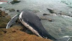 Morre baleia jubarte devolvida ao mar por mutirão em Arraial do Cabo