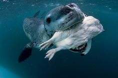 Concerned Leopard Seal Tries to Feed Photographer Live Penguin  Paul Nicklen
