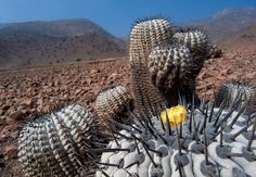 Photos of Atacama Desert Cacti of northern Chile