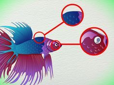 How to Tell How Old a Betta Fish Is -- via wikiHow.com