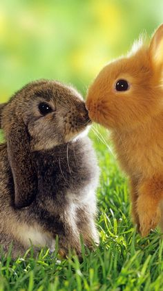 rabbit, couple, kiss, grass