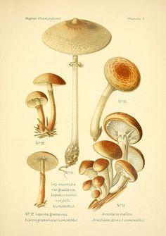 Atlas des champignons comestibles et vénéneux  Paris, P. Klincksieck, 1891.