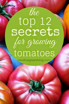My Top 12 Secrets to Growing Better Tomatoes