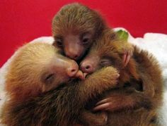 Aw, baby sloths our recent obsession with sloths is getting out of hand!