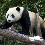 Why Pandas Love Some Trees More Than Others | Biology | Sci-News.com