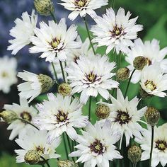Catananche caerulea Plant - White - Suttons Seeds and Plants