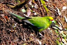 Yellow-Crowned Parakeet/Kakariki (Cyanoramphus auriceps). The genus Cyanoramphus to which the yellow-crowned parakeet belongs includes five other similar-sized green parrots in the New Zealand region and one each on Norfolk Island and New Caledonia. C. auriceps is NZ endemic and looks very similar in appearance to the orange-fronted parakeet. They spend most of their time high in trees eating seeds, buds and invertebrates but occasionally come down to the forest floor to forage and bathe…