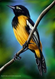 the national bird of Venezuela TURPIAL