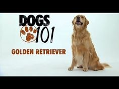 DOGS 101 - Golden Retriever Video from Animal Planet Smartest Dogs, Dogs 101, Dog Information, Getting A Puppy, Guide Dog, Funny Dog Videos, Dog Agility, Training Your Dog, Crate Training